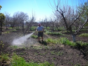 Brian inoculates the soil in the historic orchard at Guadalupe River Park and Gardens in San Jose.