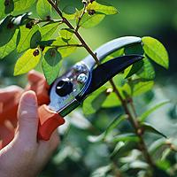 Pruning Branch